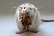К чему снятся крысы.