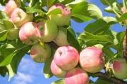 К чему снятся яблоки.