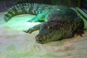 К чему снится крокодил.