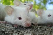 К чему снятся мыши.