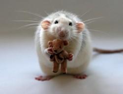 К чему снятся крысы. Крысы в вашем сне. Узнайте к чему снятся крысы по сонникам Миллера, Ванги, Фрейда и другим.