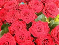 К чему снятся розы. Розы в вашем сне. Узнайте к чему снятся розы по сонникам Миллера, Ванги, Фрейда и другим.