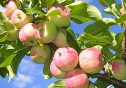 К чему снятся яблоки. Яблоки в вашем сне. Узнайте к чему снятся яблоки по сонникам Миллера, Ванги, Фрейда и другим.