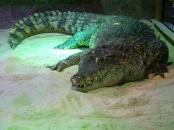 К чему снится крокодил. Крокодил в вашем сне. Узнайте к чему снится крокодил по сонникам Миллера, Ванги, Фрейда и другим.